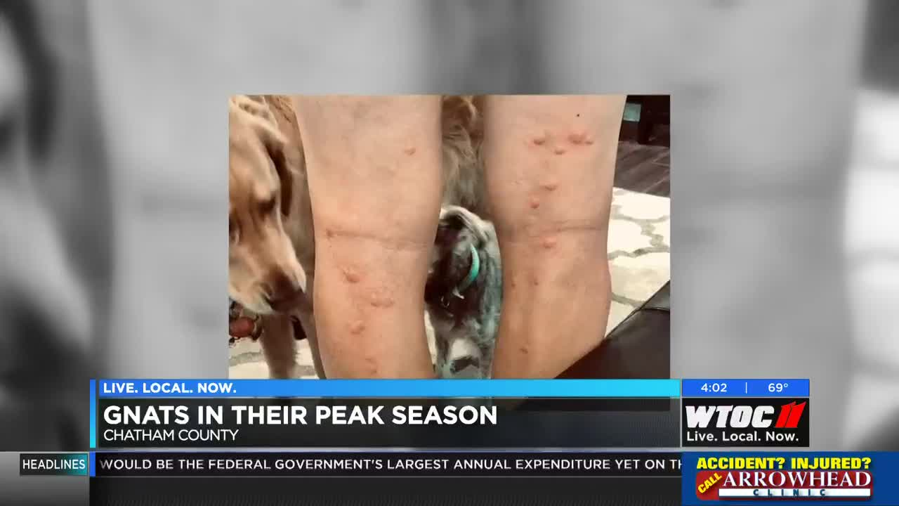 Prepare for the bites: peak gnat season to last 2-3 more weeks