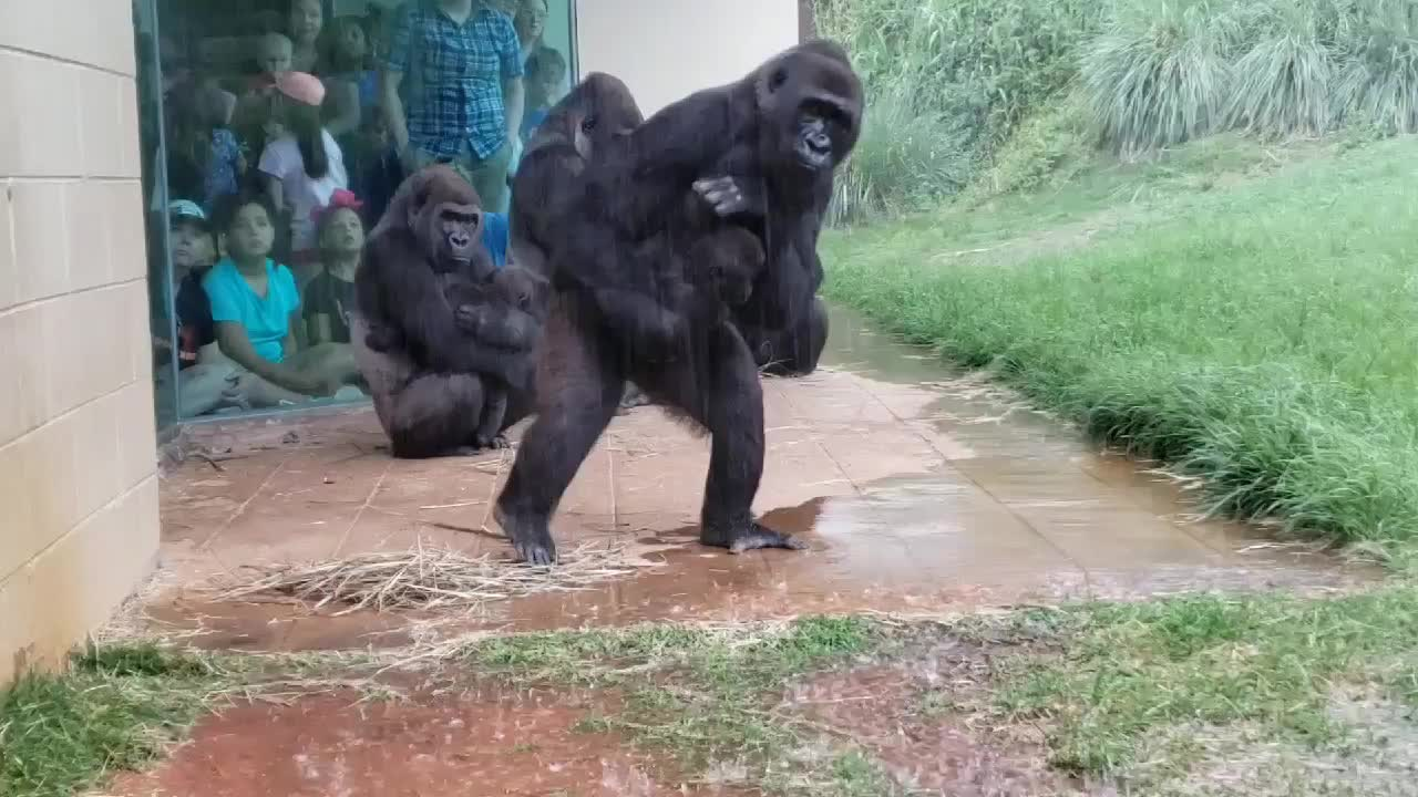 Watch Gorillas At This Sc Zoo Show Us That They Don T Like Being