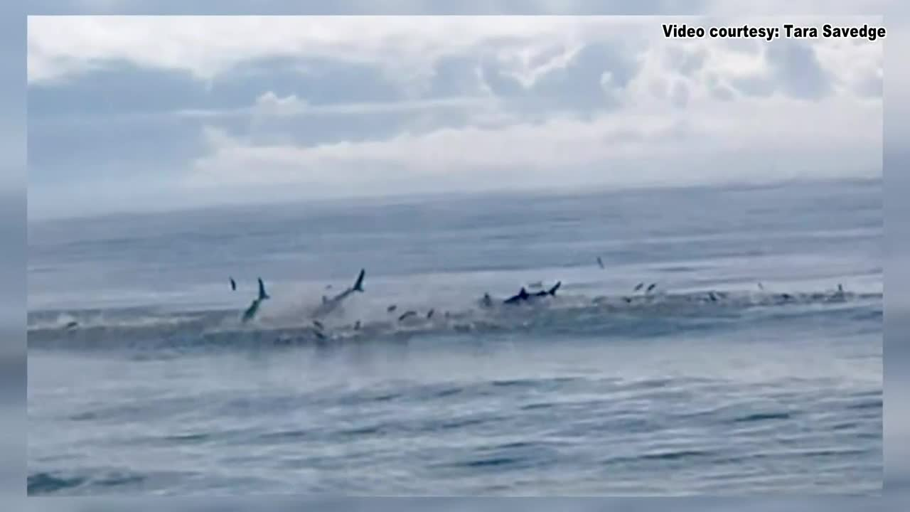VIDEO: Sharks spotted feeding along stretch of beach in S C