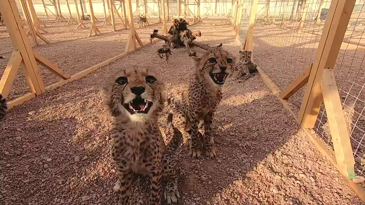 Status symbol for the rich: Cheetah population put at risk