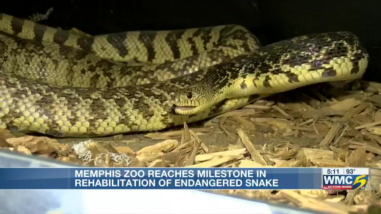 Memphis Zoo helps save North America's rarest snake