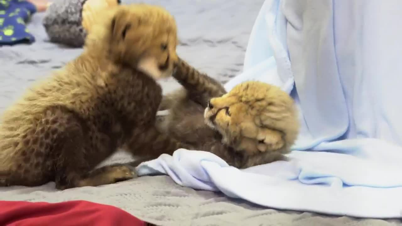 Adorable Newborn Cheetah Cubs Romp About In Video From Busch